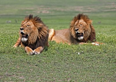 Black maned lions NG crateradobe