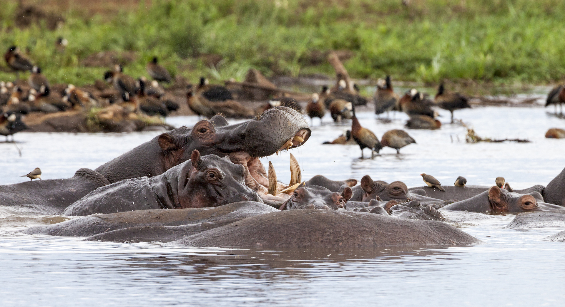 Hippos at Lake Manyara National Park, Tanzania