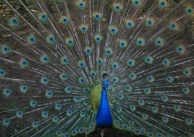 Zanzibar peacock