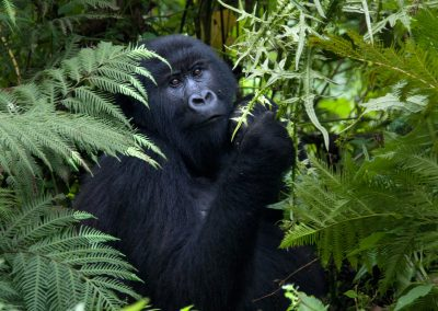 Kwitonda. Gorilla Female